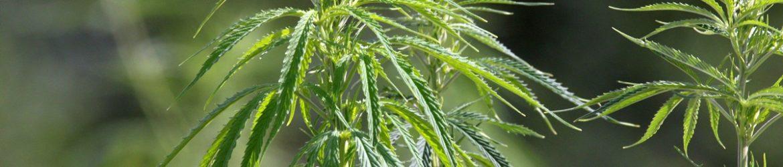 Hanfpflanze,_industriell_IMG_5412-2